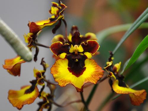 Orquídea-Tolumnia-10