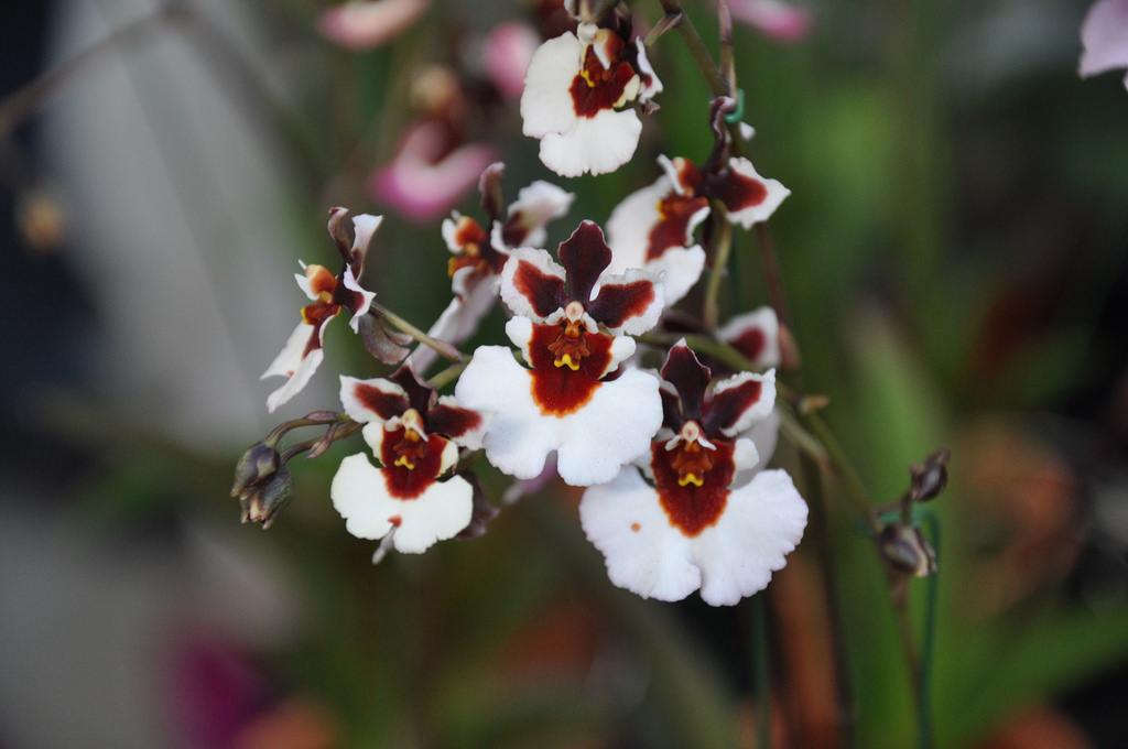 Orquídea-Tolumnia-14