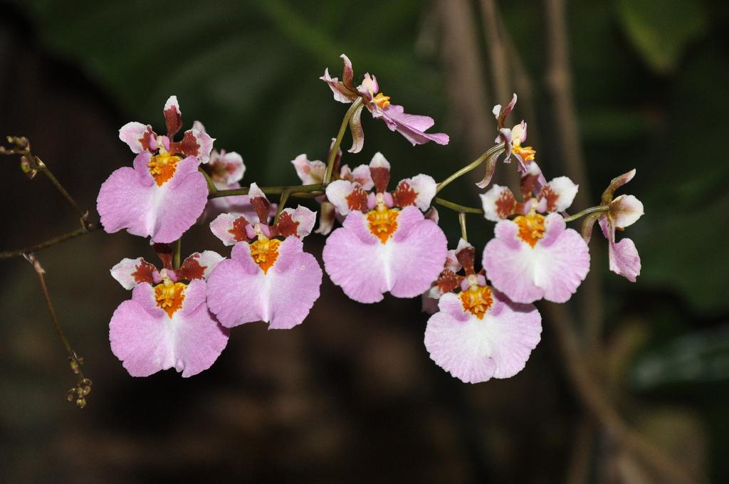 Orquídea Tolumnia