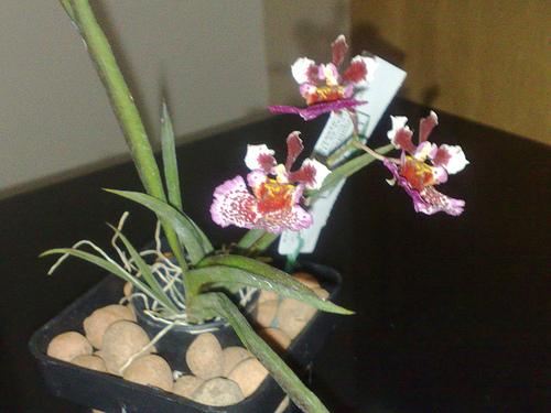 Orquídea Tolumnia4