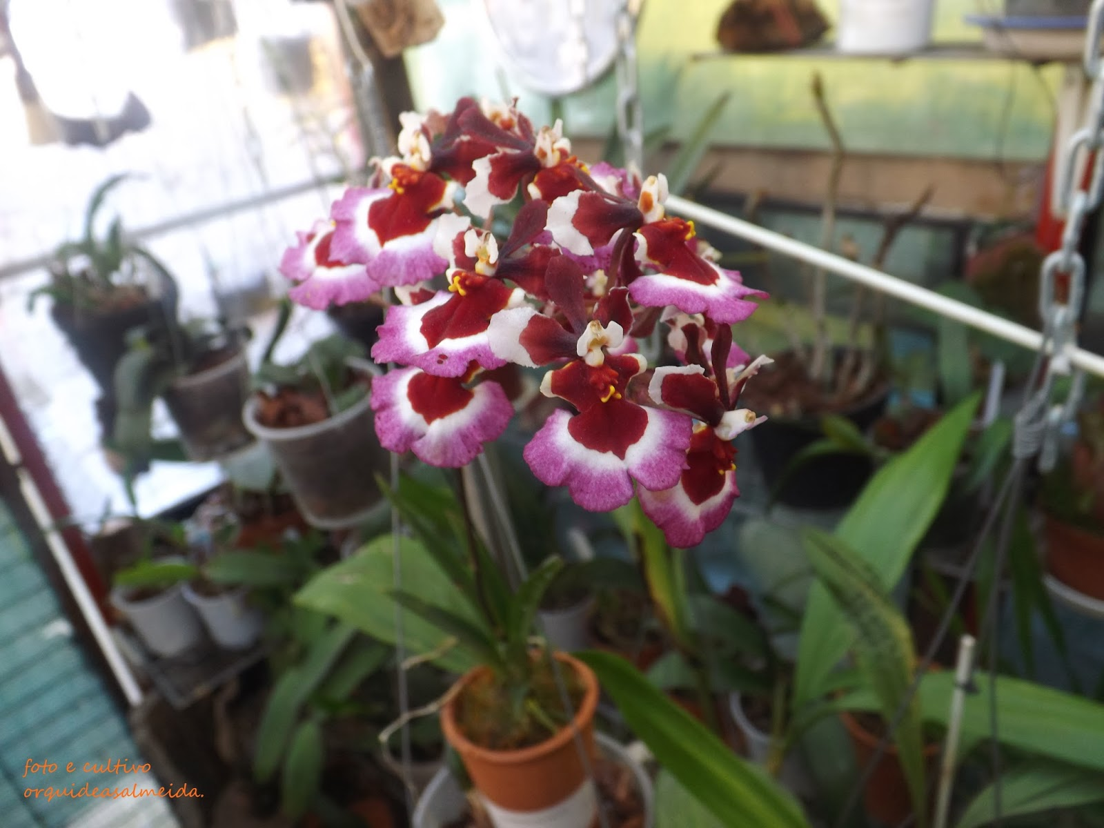 Orquídea Tolumnia5