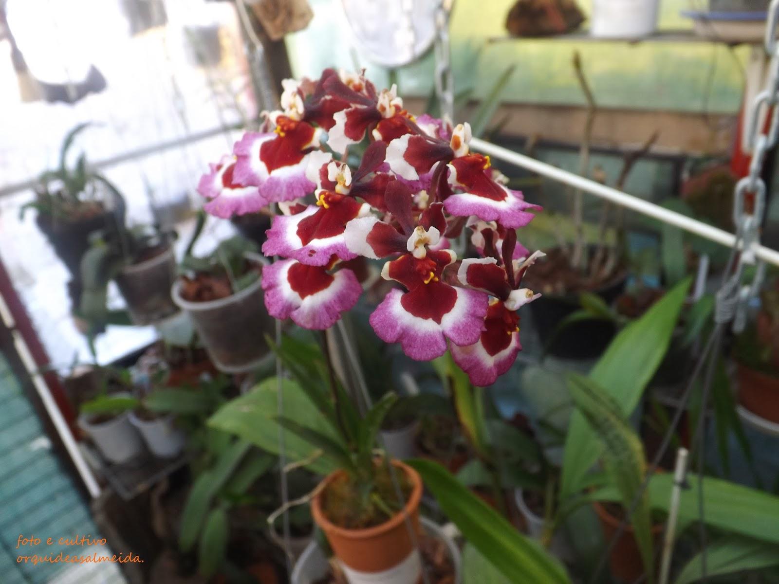 Orquídea-Tolumnia5