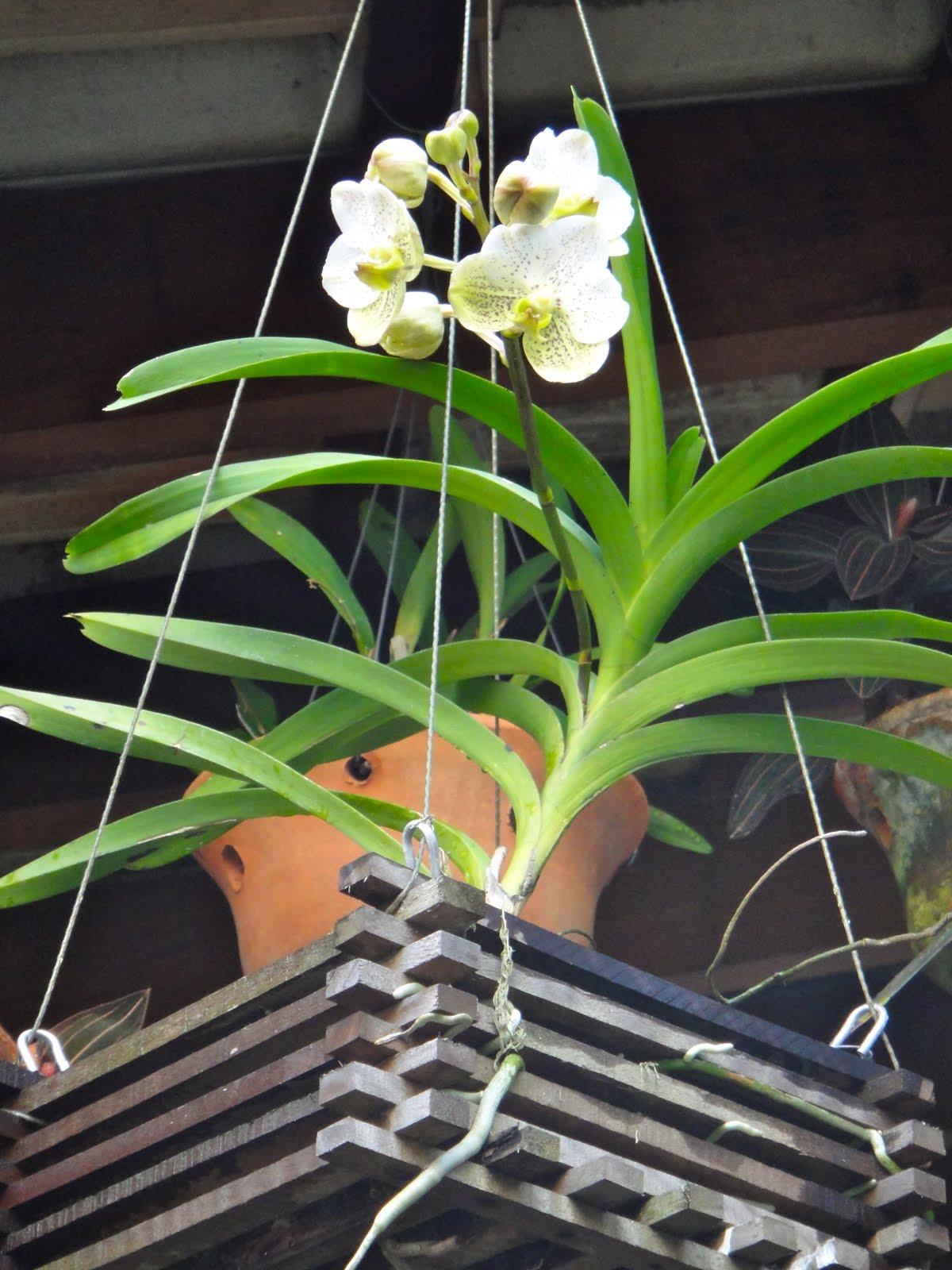 Orquídea Vanda branca
