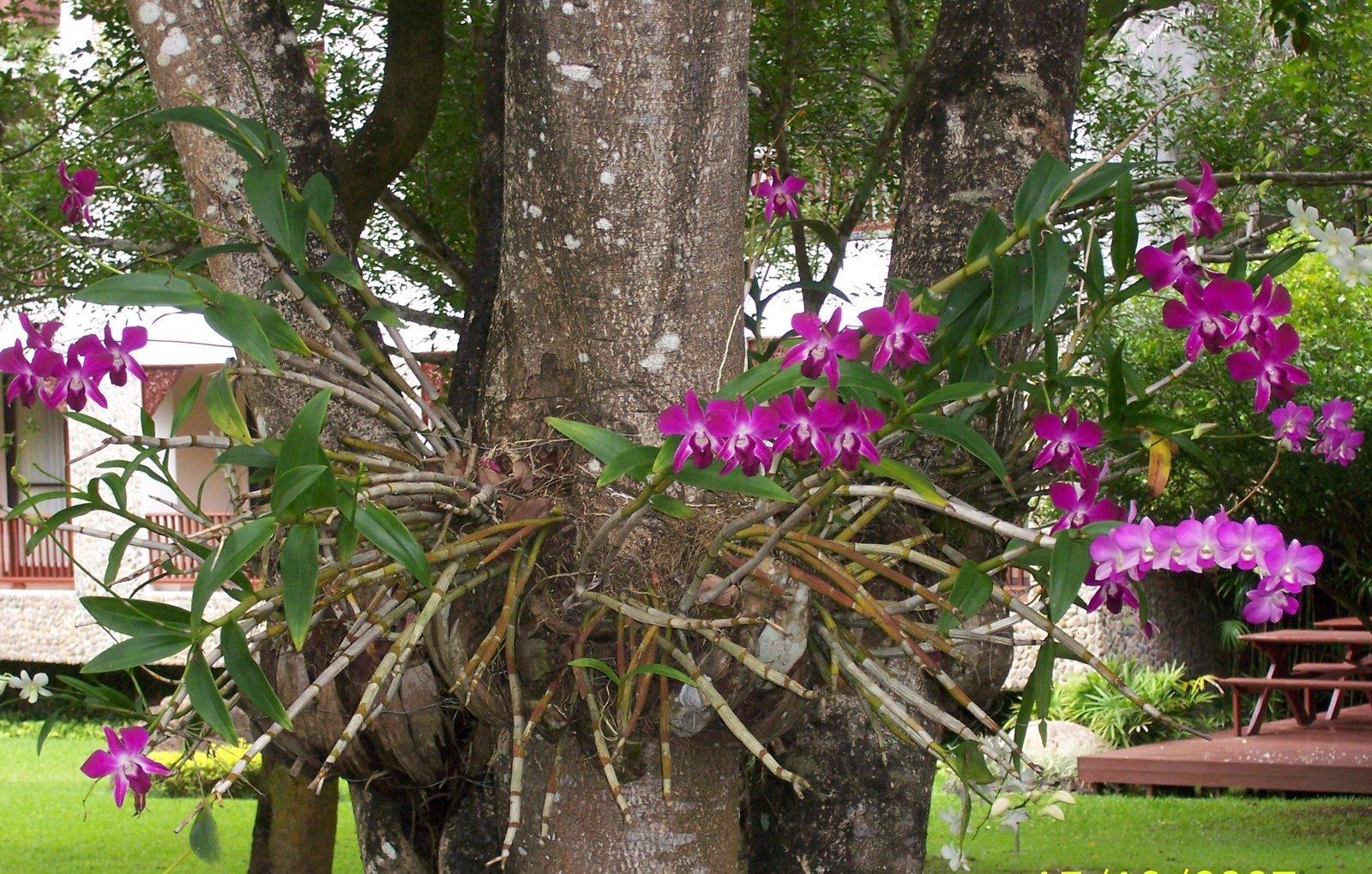 Orquídea epífita - em árvore