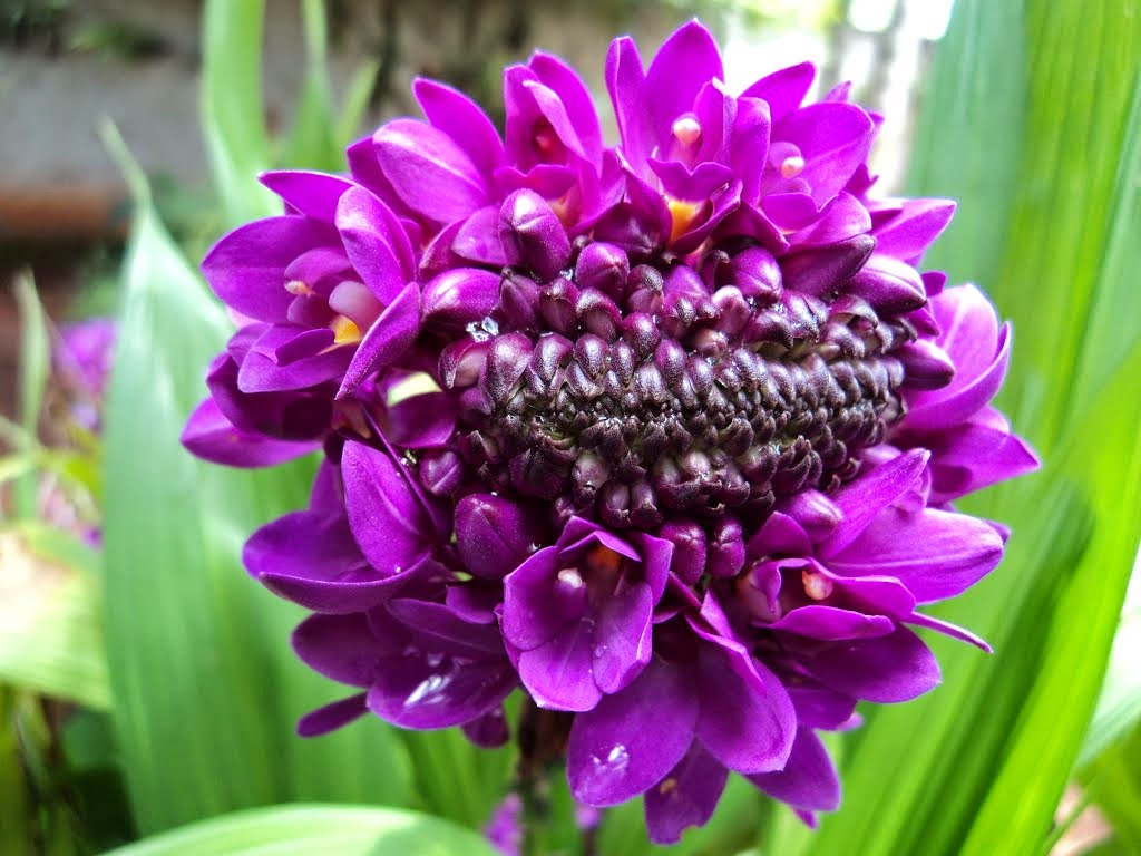 Orquídea-grapete – Spathoglottis unguiculata
