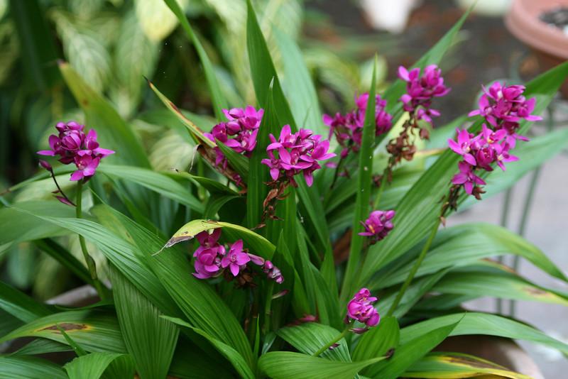 Spathoglottis-unguiculata