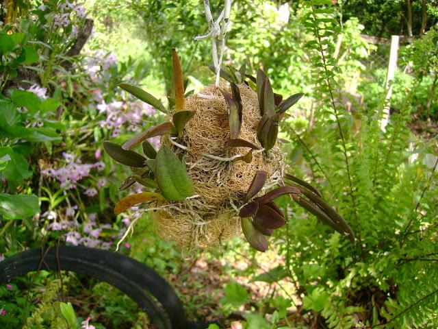 Orquídea-na-Bucha-Vegetal