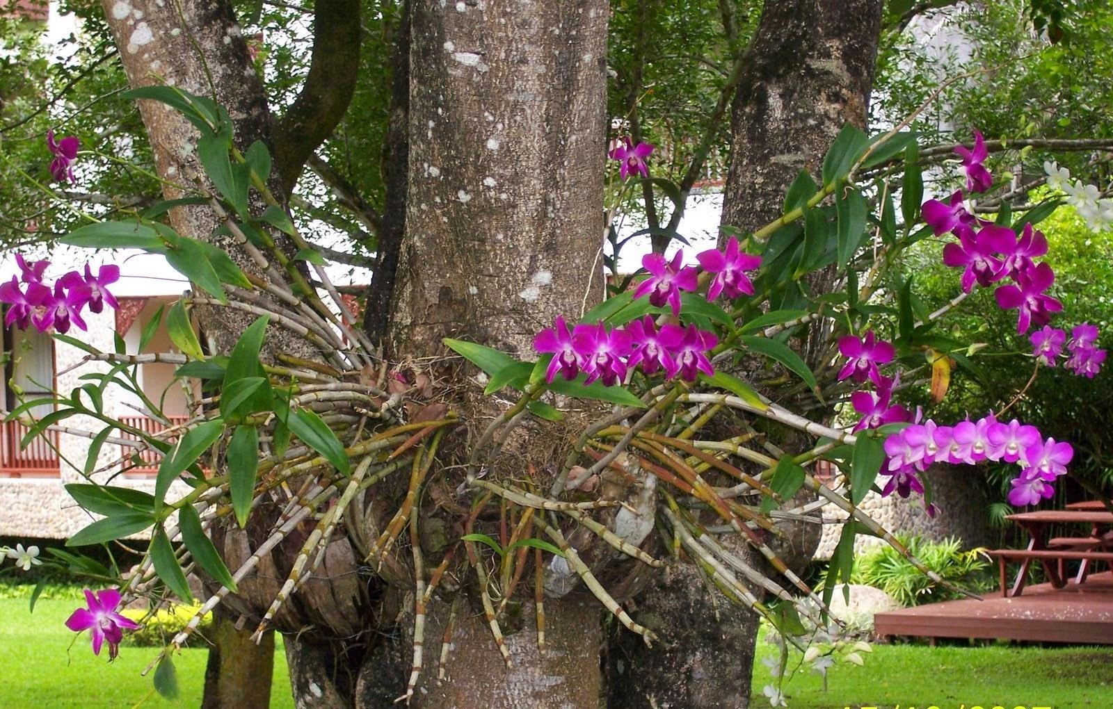 Orquídeadendobrium