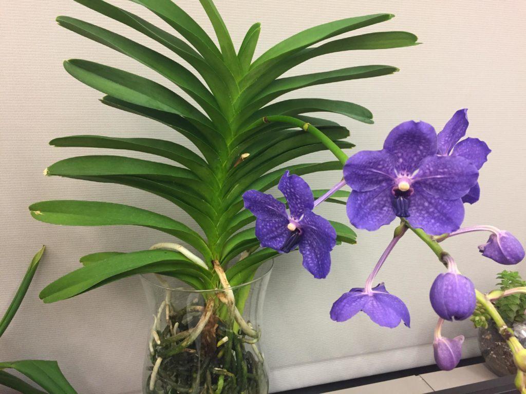Orquídeas-Vanda