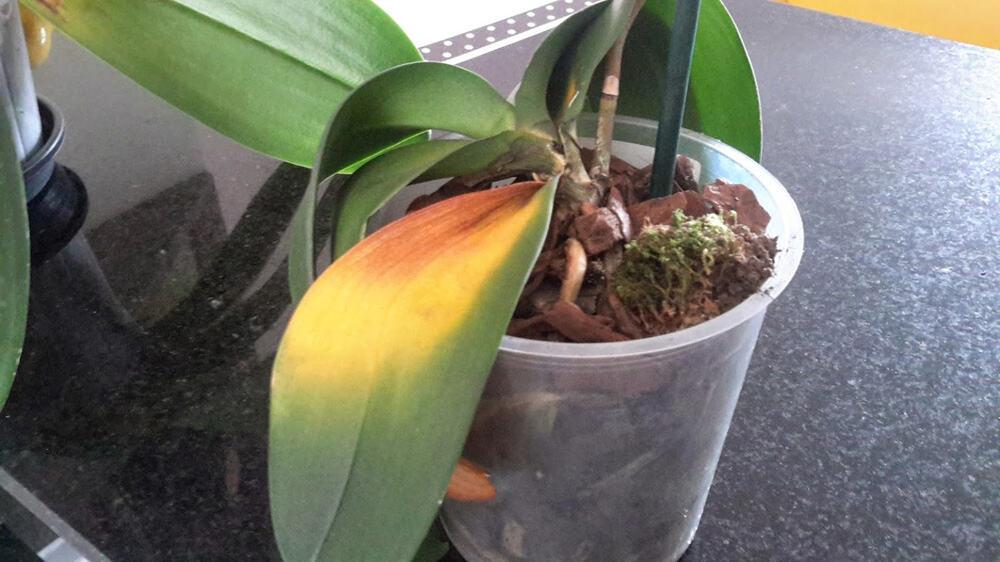folhas-murchas-e-amareladas