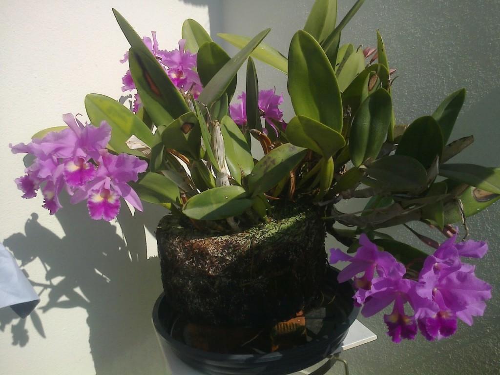 Orquídeas-em-Xaxins-2