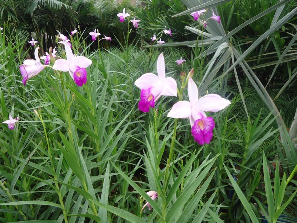 Orquidea-Bambu - Arundina