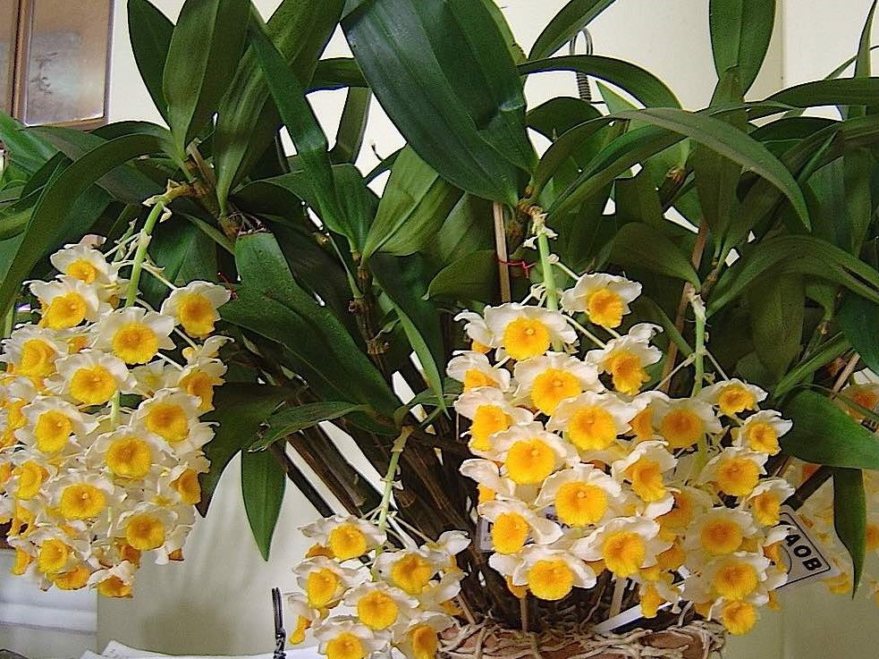 Orquidea-Dendrobium
