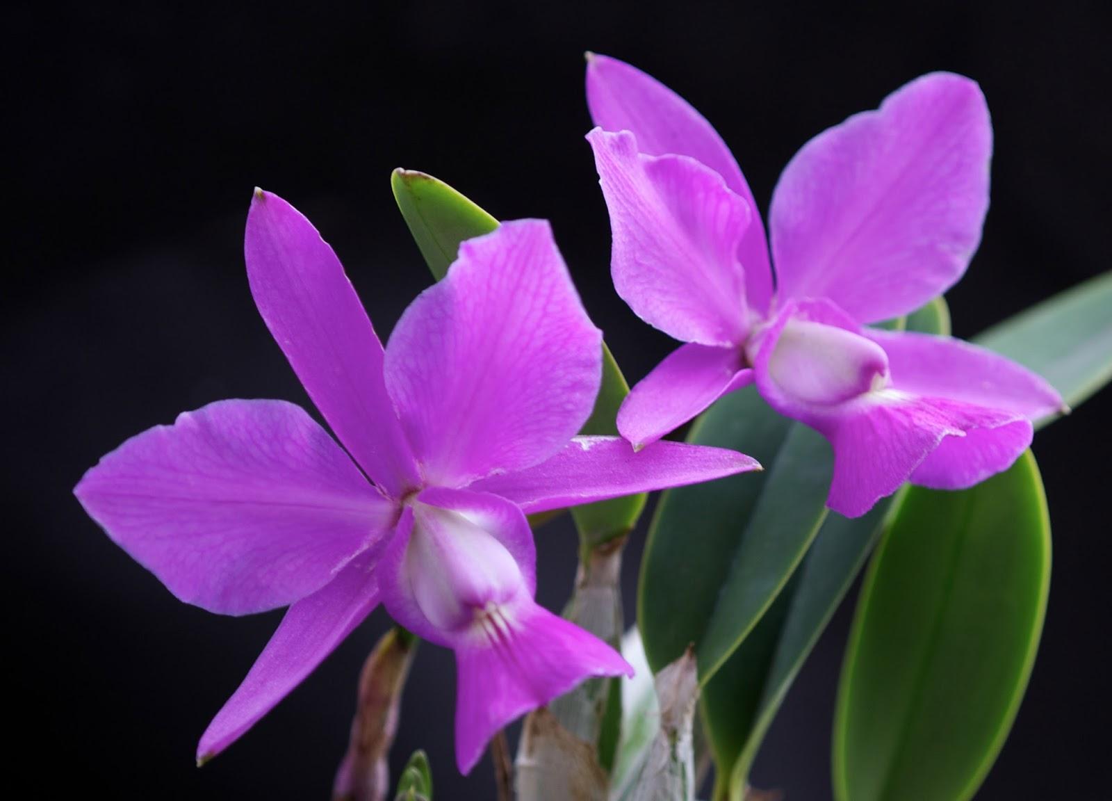 Orquidea_Cattleya_walkeriana
