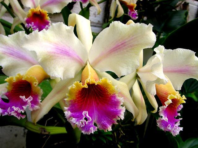 Orquidea_cattleya