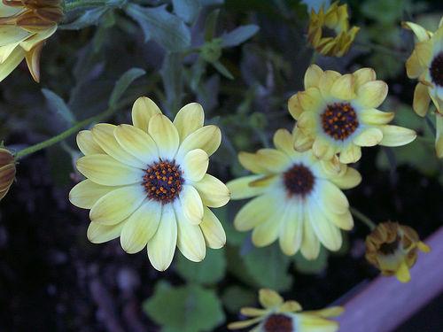 Osteospermum Buttermilk_1