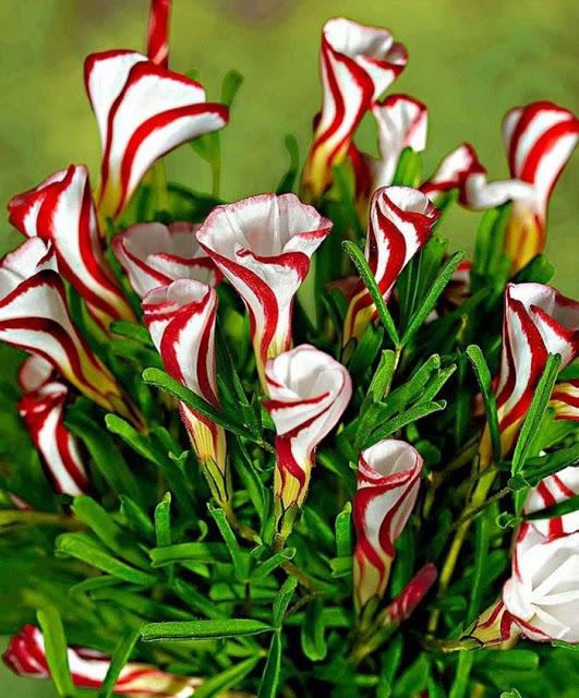 Oxalis versicolor,