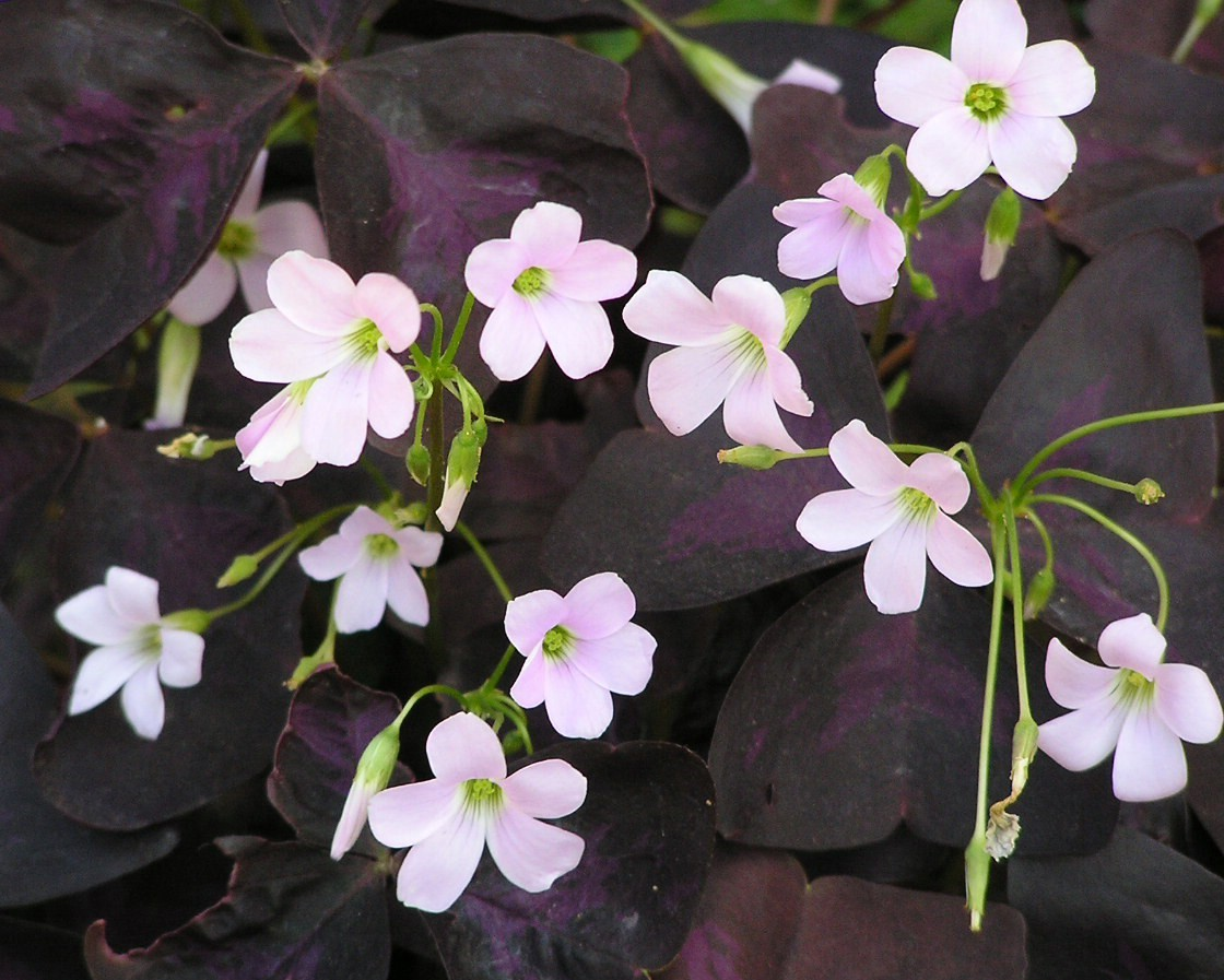 Oxalis_Triangularis-m
