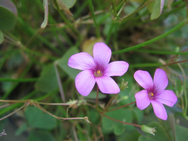 Oxalis_articulata