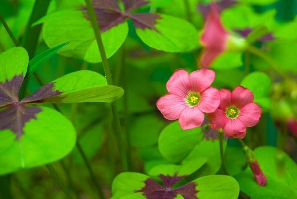 Oxalis_tetraphilla_flores