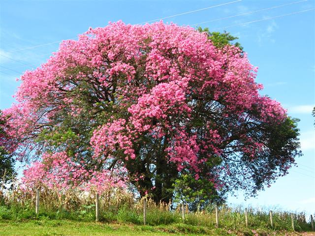 Paineira-rosa (Ceiba speciosa)