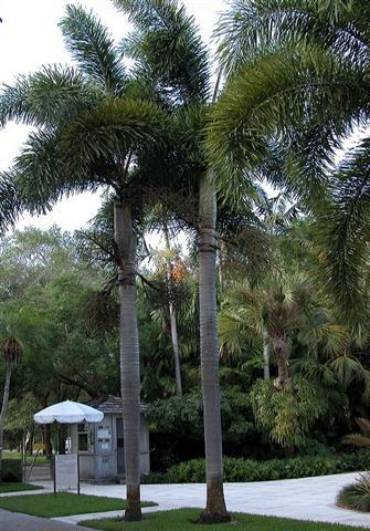-Palmeira-
