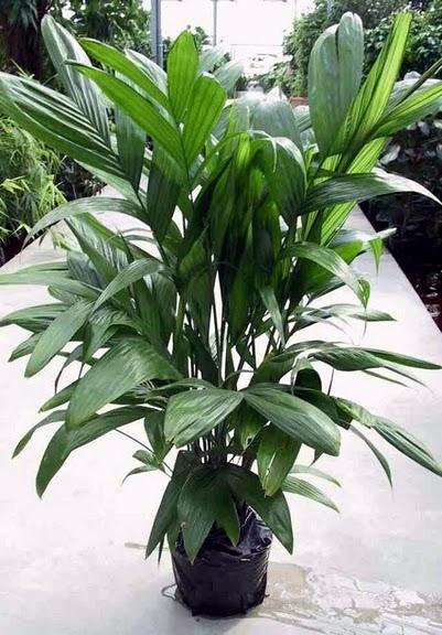 Palmeira Areca Trianda