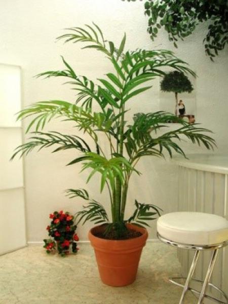 Palmeira Chamaedórea