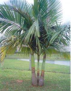 Palmeira Real (Archontophoenix alexandrae)