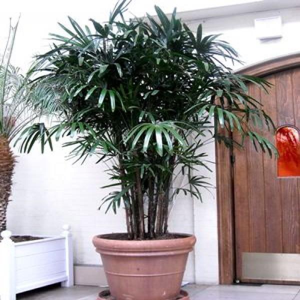 Palmeira-ráfia