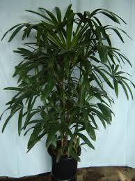 Palmeira-rápis - Rhapis excelsa
