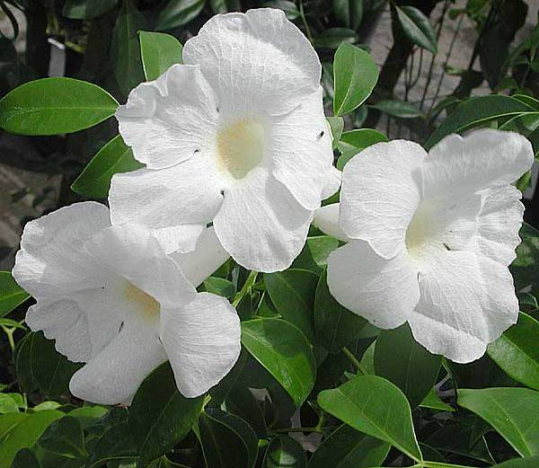 Pandorea jasminoides 'Alba'