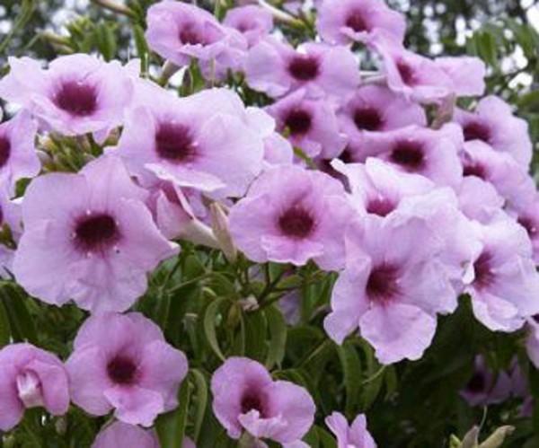Pandorea jasminoides rosea