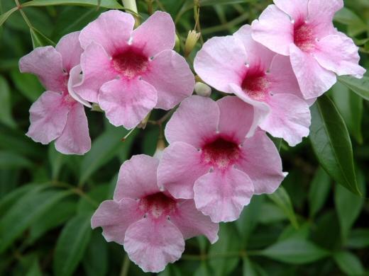Pandorea jasminoides1