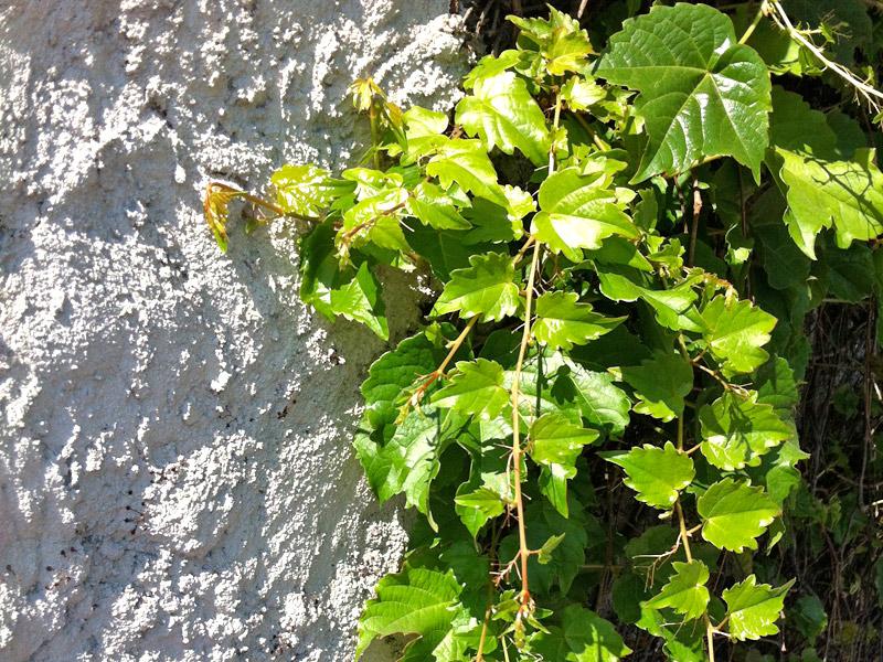 Parthenocissus-tricuspidata-02