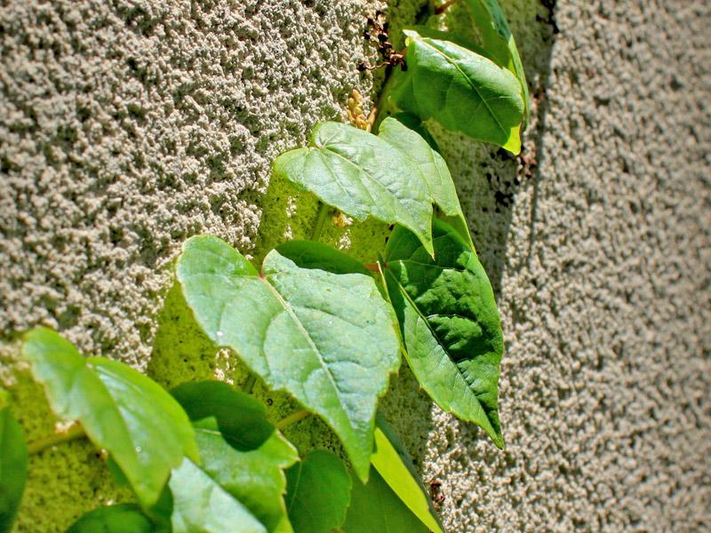 Parthenocissus-tricuspidata-08