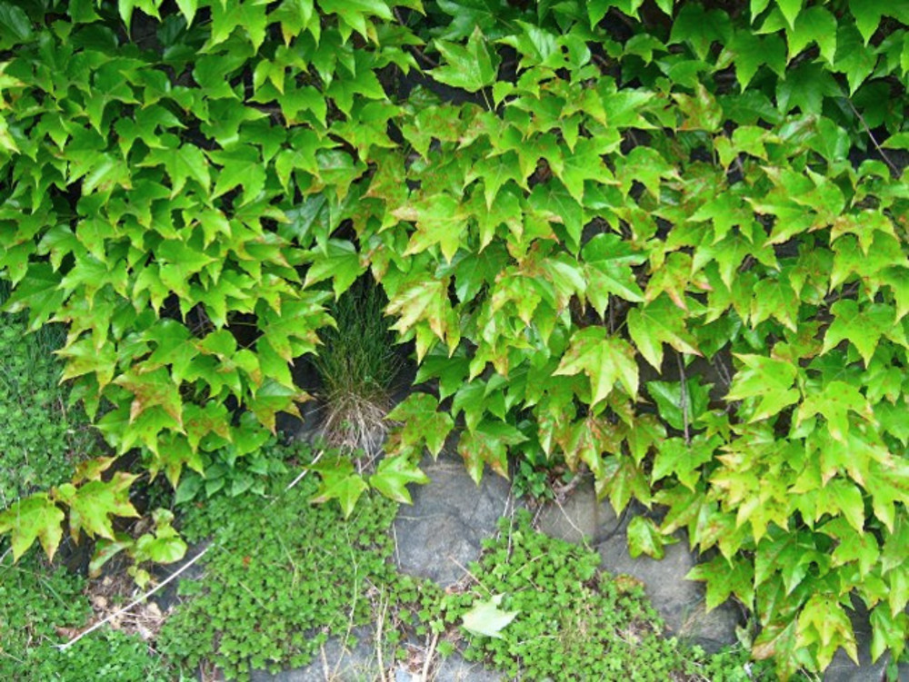 Parthenocissus tricuspidata-b