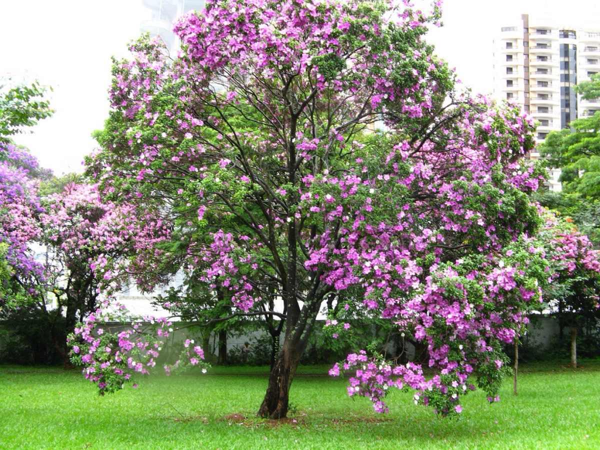 Pata-de-vaca (Acacia-bauhinia)