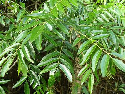 Pau-amargo (picramnia parvifolia)