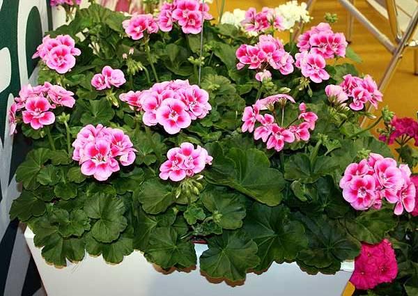 Pelargonium-