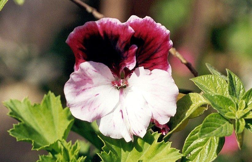 Pelargonium-x-domesticum-