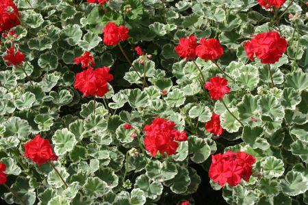 Pelargonium-x-hortorum-Wilhelm-Langguth-L.H.Bailey