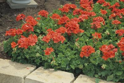 Forra es de pleno sol com flores vermelhas plantasonya - Plantas para pleno sol ...
