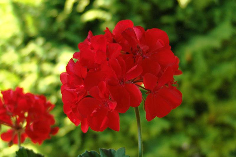 Pelargonium_flower