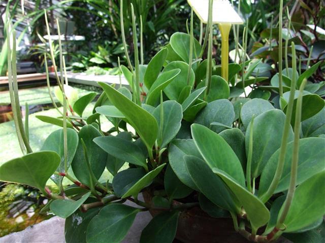 Peperomia_magnoliifolia_1-OB9