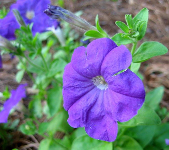 Petúnia violácea