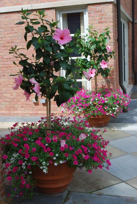 Como cultivar a pet nia perene petunia integrifolia for Petunie inverno