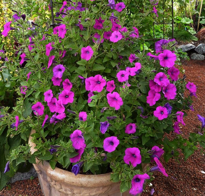 Petunia Integrifolia123