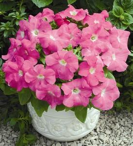 Petunia_Grandiflora