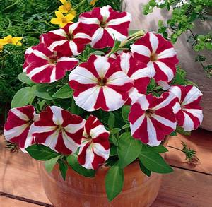 Petunia_Multiflora